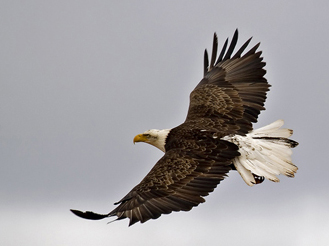 Bald_eagle_soar_small